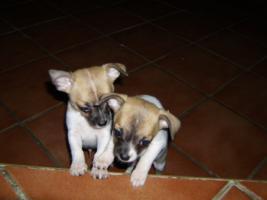 Chihuahua - Babys zu verkaufen !!!