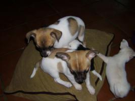 Foto 2 Chihuahua - Babys zu verkaufen !!!