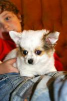 Foto 5 Chihuahua - LH Hündin mit FCI Papieren
