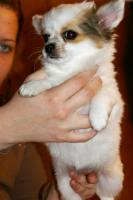 Foto 6 Chihuahua - LH Hündin mit FCI Papieren