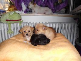 Chihuahua - Mix - Welpen