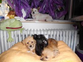 Foto 2 Chihuahua - Mix - Welpen