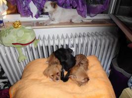 Foto 3 Chihuahua - Mix - Welpen