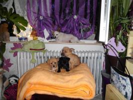 Foto 4 Chihuahua - Mix - Welpen