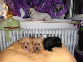 Foto 5 Chihuahua - Mix - Welpen