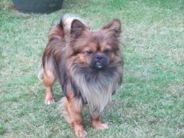 Chihuahua / Pekingese Deckrüde  freuen sich auf neue Bekanntschaft