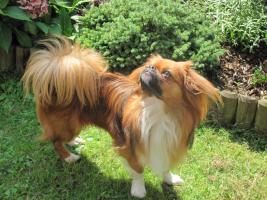 Chihuahua / Pekingese Deckrüde  sucht gleichgesinnte Hundedame