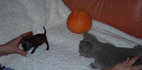 Chihuahua - Rarität - Mikro schocko Mädchen!