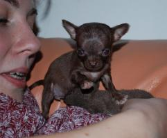 Foto 2 Chihuahua - Rarität - Mikro schocko Mädchen!