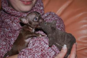 Foto 3 Chihuahua - Rarität - Mikro schocko Mädchen!