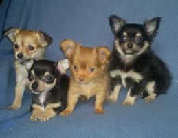 Chihuahua - Welpen