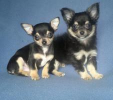 Foto 2 Chihuahua - Welpen