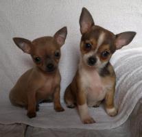 Foto 3 Chihuahua - Welpen