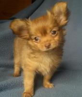 Foto 4 Chihuahua - Welpen