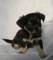 Foto 5 Chihuahua - Welpen