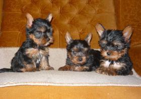 Chihuahua, Yorkie, Mops, i Malteser Welpen zu verkaufen