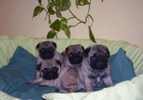 Foto 2 Chihuahua, Yorkie, Mops, i Malteser Welpen zu verkaufen