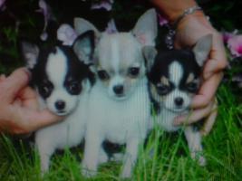 Foto 3 Chihuahua, Yorkie, Mops, i Malteser Welpen zu verkaufen