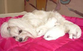 Foto 4 Chihuahua, Yorkie, Mops, i Malteser Welpen zu verkaufen