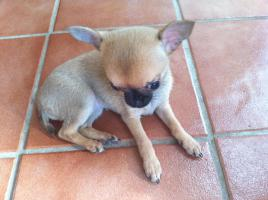 Chihuahuababy in liebevolle H�nde abzugeben !!!