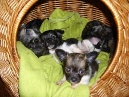 Chihuahuababys ( 8 Wochen )