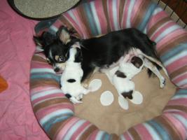 Foto 2 Chihuahuahündin, LH, typvoll, 4 Jahre alt