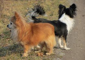 Foto 4 Chihuahuahündin, LH, typvoll, 4 Jahre alt