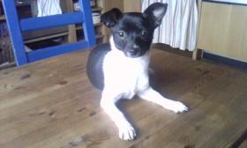 Chihuahuamädchen 7 Monate alt