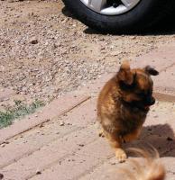Chihuahuarüde langhaar