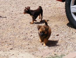 Foto 3 Chihuahuarüde langhaar