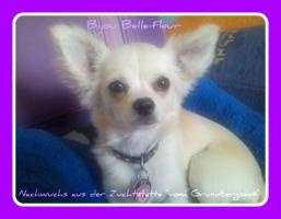 Foto 2 Chihuahuas vom Grundbergsee©