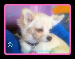 Foto 3 Chihuahuas vom Grundbergsee©