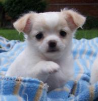 Foto 2 Chihuahuas in Kurz- und Langhaar mit Stammbaum!
