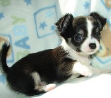 Foto 3 Chihuahuas in Kurz- und Langhaar mit Stammbaum!