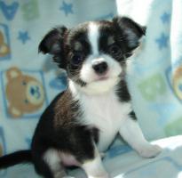 Foto 4 Chihuahuas in Kurz- und Langhaar mit Stammbaum!
