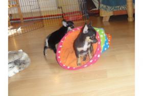 Foto 2 Chihuahuas mit Stammbaum/Ahnentafel abzugeben!