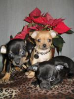 Chihuahuas Welpen