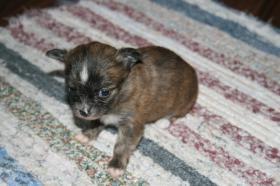 Chihuahuas suchen neues zu Hause