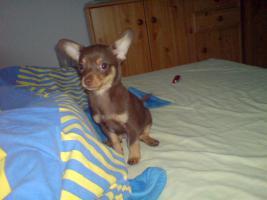 Chihuahuawelpe 10 Wochen alt