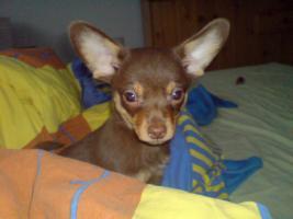 Foto 2 Chihuahuawelpe 10 Wochen alt