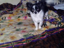 Foto 2 Chihuahuawelpe Hünden Langhaar