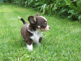 Chihuahuawelpe in dkl.schoko mit Papieren