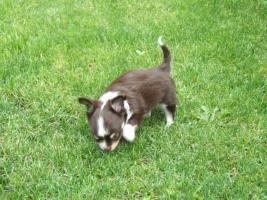 Foto 3 Chihuahuawelpe in dkl.schoko mit Papieren