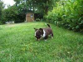 Foto 6 Chihuahuawelpe in dkl.schoko mit Papieren