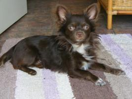 Foto 5 Chihuahuawelpen