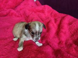 Foto 10 Chihuahuawelpen