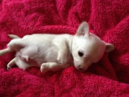 Foto 11 Chihuahuawelpen