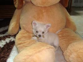 Foto 2 Chihuahuawelpen