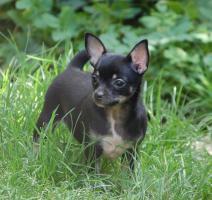 Foto 2 Chihuahuawelpen mit Pap.