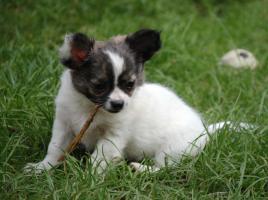 Foto 3 Chihuahuawelpen mit Pap.